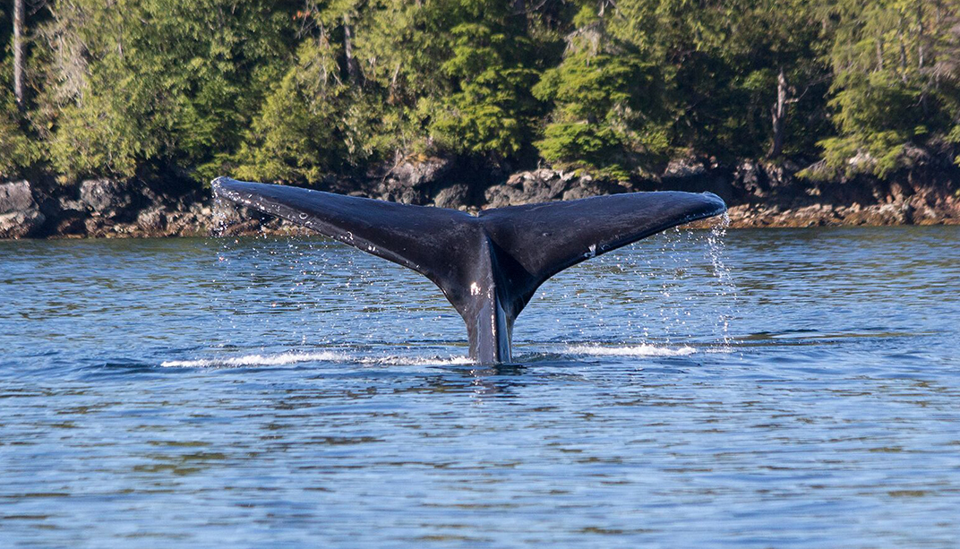 Baby humpback whale spotted in the bay. Photo via Zeballos Expeditions